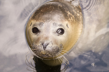 Rescued Harbour Seal (Phoca Vitulina)