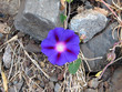 Purple or Common Morning Glory