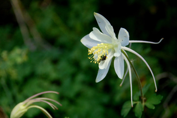 A Columbine flower in the wild.