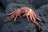 Hawaiian Crab Baked by Sun on Kona Island Volcanic Rocks poster