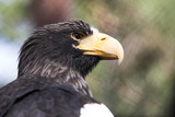 Sea eagle sitting in the zoo cage poster
