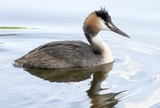 Great Crested Grebe.  poster