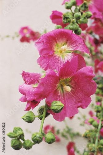 Roses trémières mouillées