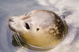 Rescued Harbour Seal (Phoca Vitulina) poster