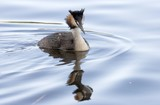 Great Crested Grebe. Norway 2007. poster