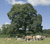 cattle in field on country estate sitting and standing  poster