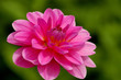 Dahlie in voller Blüte