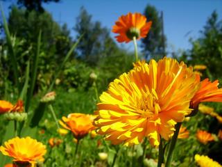 Orange calendulas