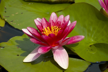 Pink exotic waterlilies blooming in pond