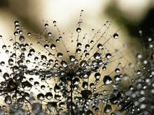 våt maskros frö