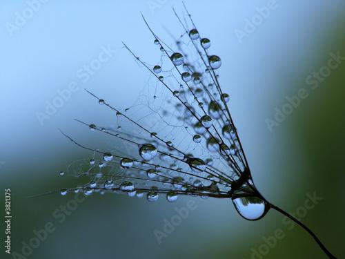 Keuken foto achterwand Paardebloemen en water wet dandelion seed