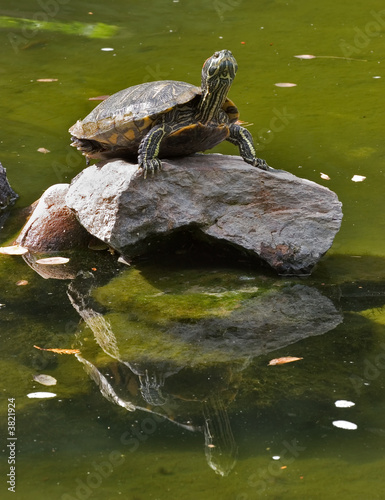 Big turtle standing on a rock in the middle of lake