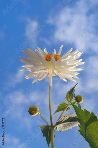 White Dahlia in full bloom against blue sky