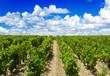vineyard in bordeaux