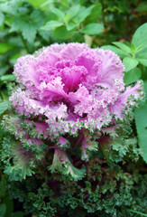 Oriental Colors Series pink flowering cabbage