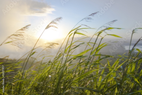 Blades of grass blowing in the wind at sunrise