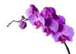 Fototapeta Piękny - Storczyk - Kwiat