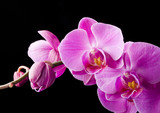 purple orchid on the black background - Fine Art prints