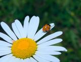 ladybug climbing cammomile flower poster