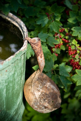 Old dipper and red currant bush