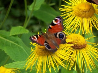 Peacock Butterfly on Yellow Daisy