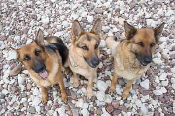 Three German shepherds sitting on a sea pebble