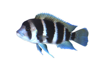 Frontosa fish in aquarium