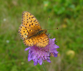 A butterfly on a violet flower