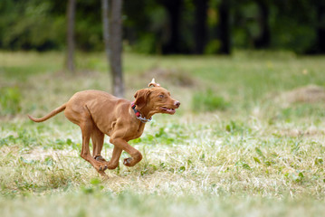 Hungarian vyzhla running in the forest