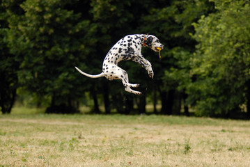 pure breed dalmatian jumping   with a ball