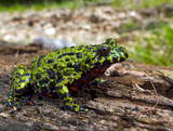 Far-eastern Fire-bellied Toad 2 poster