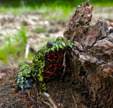 Far-eastern Fire-bellied Toad 3 poster