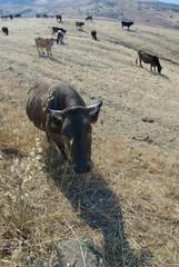 bovini al pascolo campo mietuto