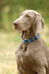 A  grey German short haired Pointer dog