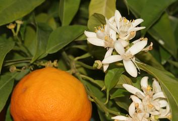 fleur d'oranger et son fruit