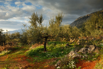 Landscape with olive trees in Greece, after a rain storm