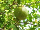 pomegranate ripening poster