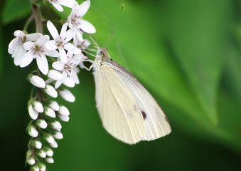 Macro shot of a cabbage butterfly on a flower stem