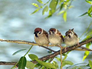 Brood of sparrows