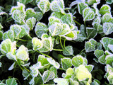 frost and ice covering clover