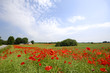 Framland with red poppies trees and blue sky
