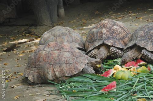 Leinwanddruck Bild turtle furit party