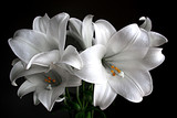Lillies - Fine Art prints