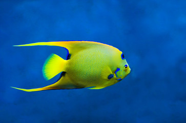 Queen Angelfish (Holoacanthus ciliaris) against blue background