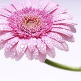 Fototapete Gerbera - Gänseblümchen - Blume