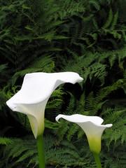 Ornamental White Arum Lilies (part 2)