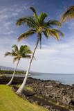 Palm Trees on Volcanic Lava Coast of Kona Island, Hawaii poster