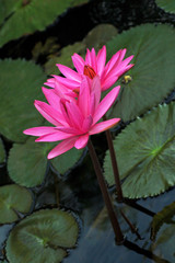 pink water lilies and lily pads in water