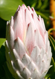 The pale pink bud of a the girant protea cynaroides.   poster