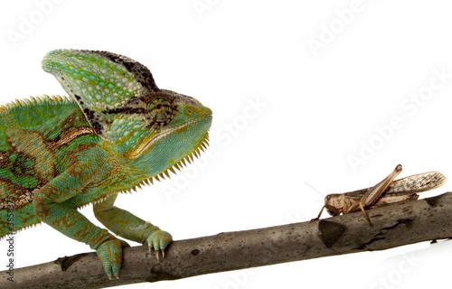 Papiers peints Cameleon chameleon and cricket